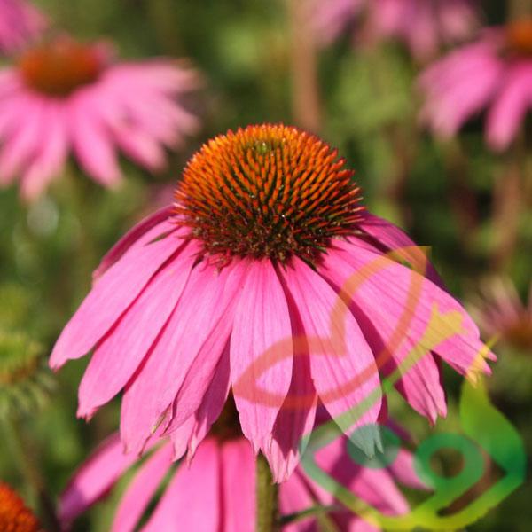 انواع گل فصلی