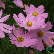 قیمت انواع گل فصلی