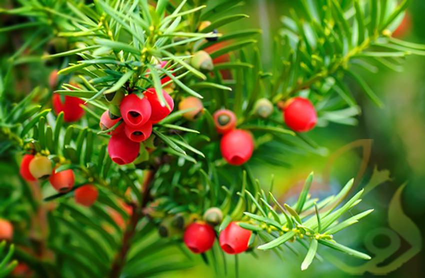 نگهداری درخت سرخدار