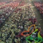 خرید گل بگونیا