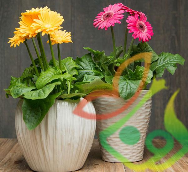 خرید گل زینتی ژربرا گلدانی