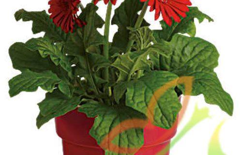 پخش گل ژربرا گلدانی