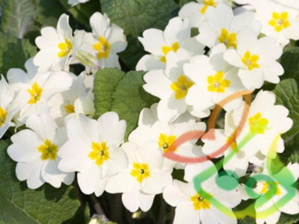گل فصلی پامچال