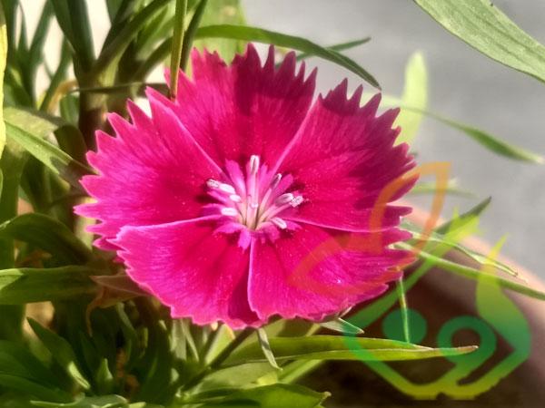 گل میخک قرنفلی