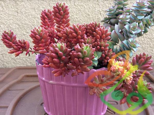 گیاه پوششی سدوم