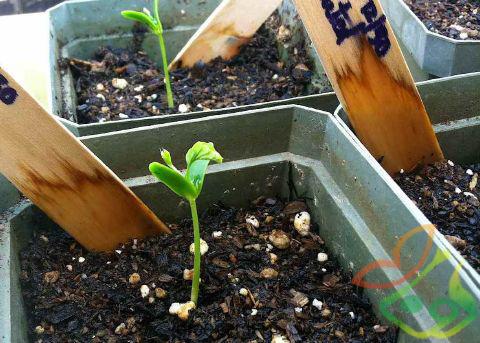 کاشت بذر درخت بلوبری