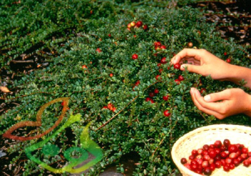 میوه کرنبری