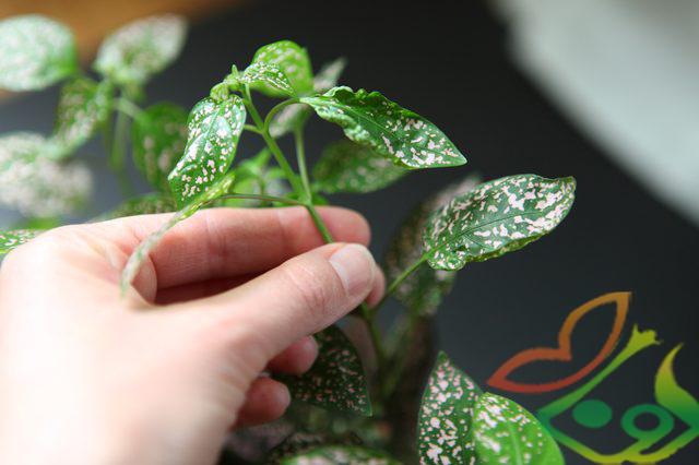 نگهداری گیاه گل سنگ