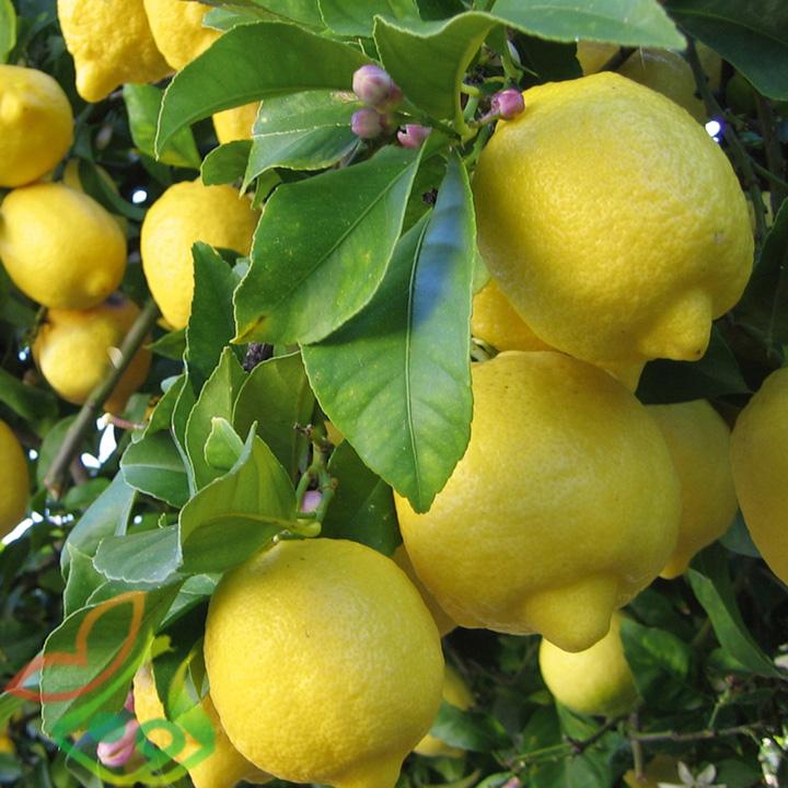 انواع درخت لیموترش