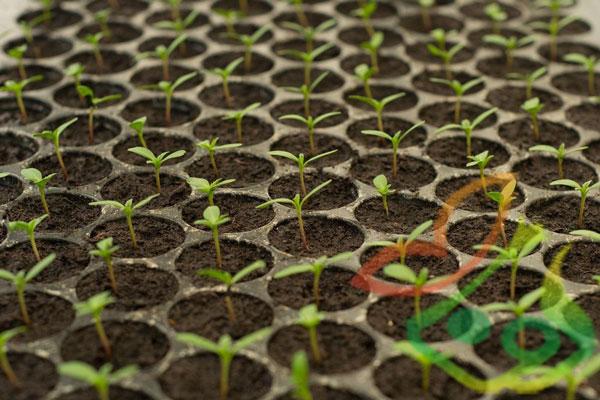 تولید نشا گیاه دارویی