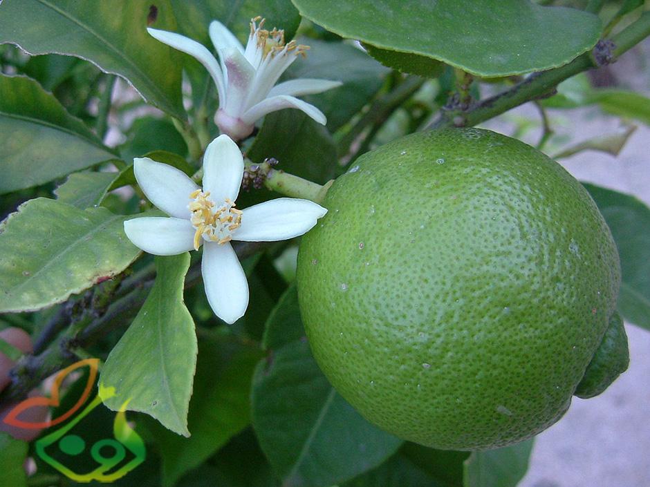 درباره درخت لیمو ترش