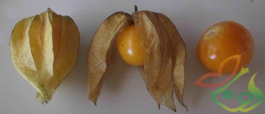 میوه فیسالیس