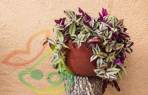 گیاه آپارتمانی چشم آهویی