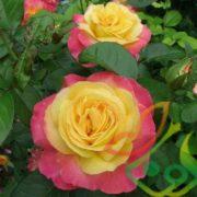 فروش انواع گل رز