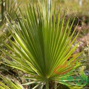 قیمت درخت پالم