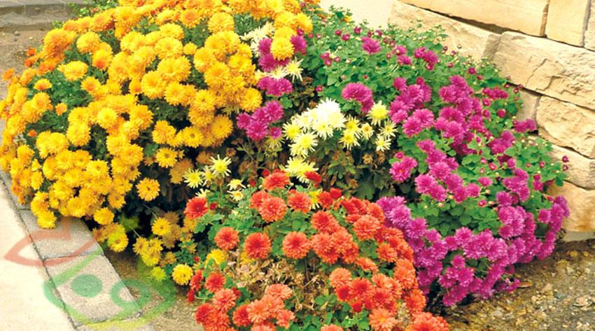 گل فصلی داوودی