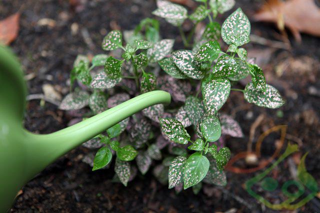 نشا گیاه گل سنگ
