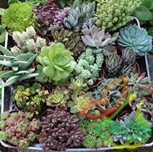 انواع گیاه آئونیوم