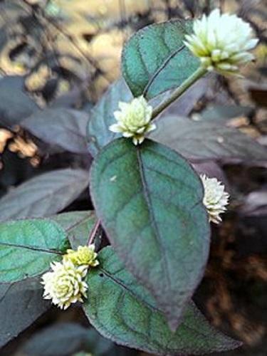 گل آشلانتوس
