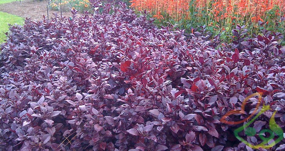 گل فصلی آشلانتوس