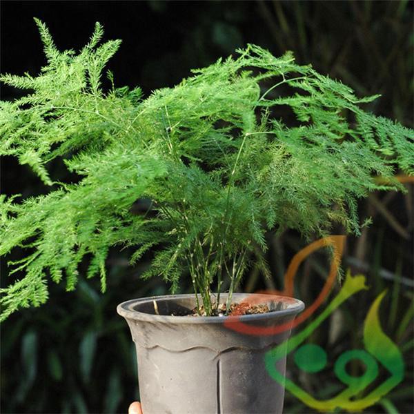 گیاه مارچوبه گلدانی