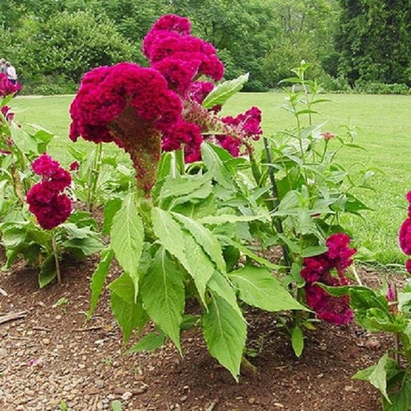 گل تاج خروسی