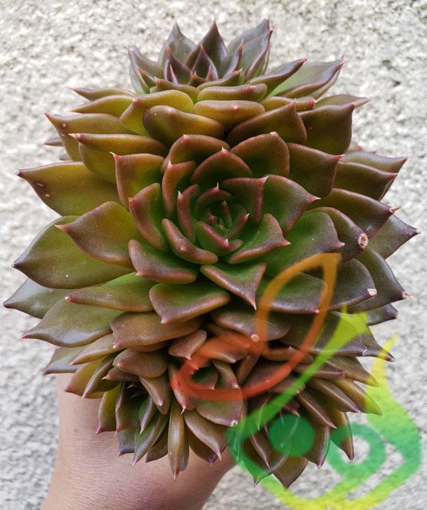 گیاه آئونیوم