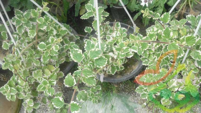 گیاه شمعدانی آویز