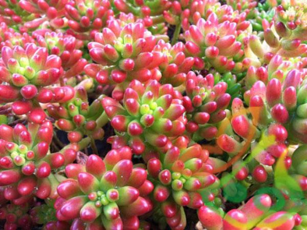 گیاه سدوم قرمز
