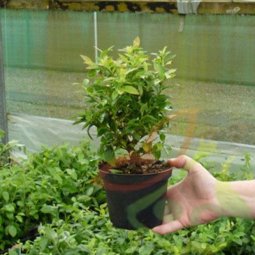 بازار خرید درخت بلوبری