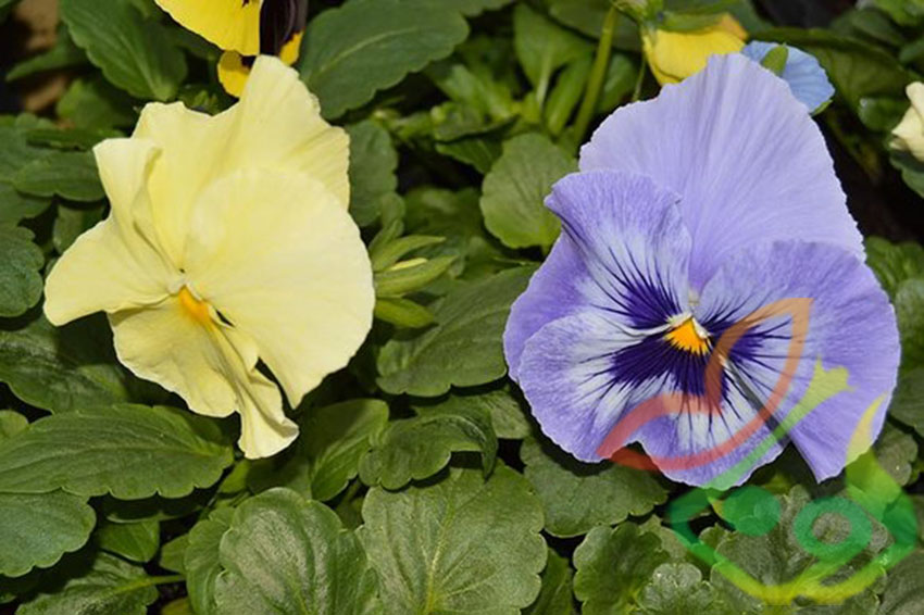 نشا گل بنفشه