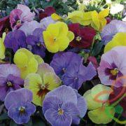 نشا انواع گل