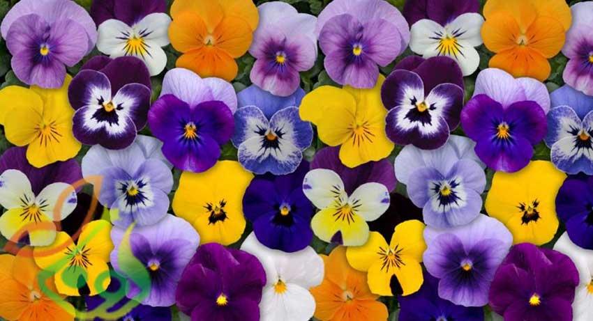 انواع گل بنفشه
