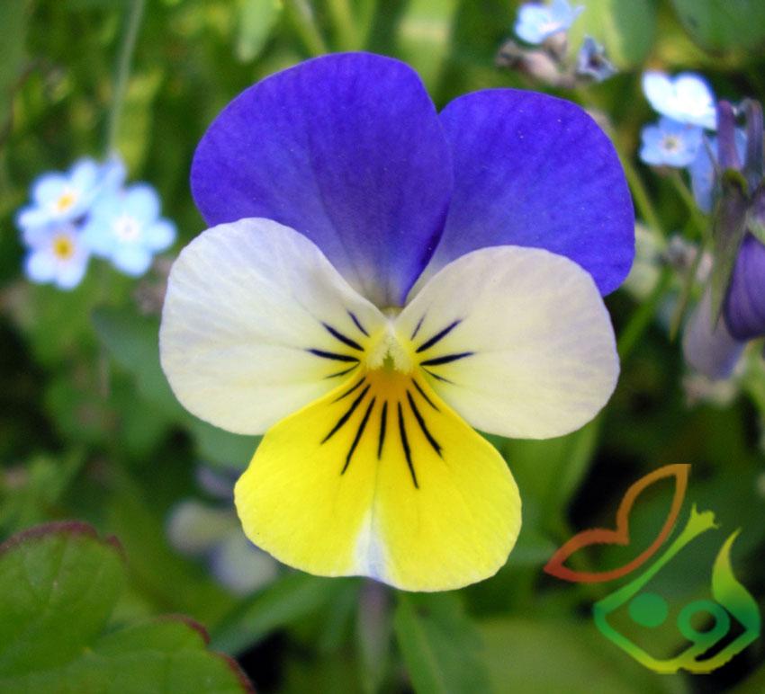 بذر گل بنفشه