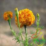 فروش گل جعفری گل درشت
