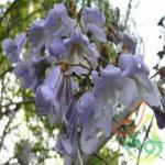 خرید عمده درخت پالونیا