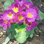 نشا گل پامچال