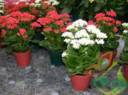 گل زینتی کالانکوا