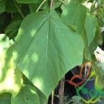 سفارش درخت پالونیا