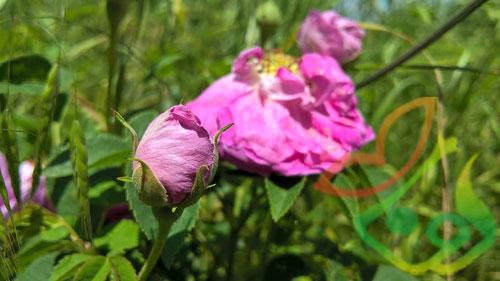 گل محمدی در هکتار