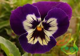 نشا گل فصلی بنفشه