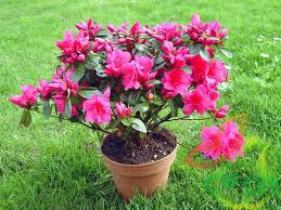 فروش گل کالانکوا