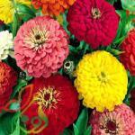 سفارش گل آهار