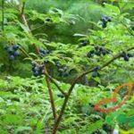 میوه درخت بلوبری
