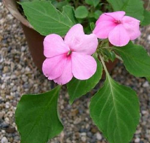 گل زینتی حنا