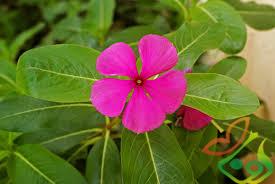 نگهداری انواع گل پریوش