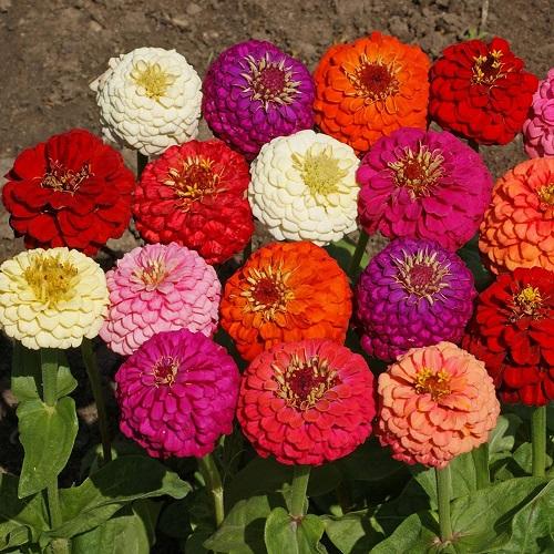 گل فصلی آهار