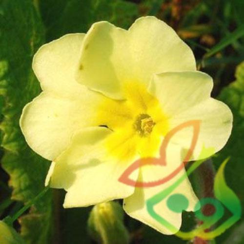 بذر گل پامچال