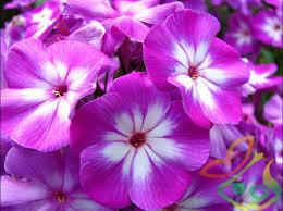 فروش گل بنفشه
