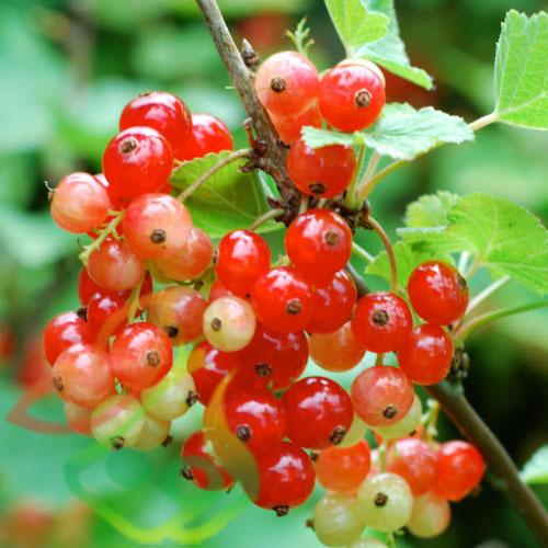 قیمت درخت انگور فرنگی